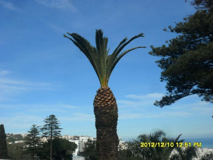 Jardinage élagage. abattage et couronnement des palmiers et des arbres( toutes les hauteurs )