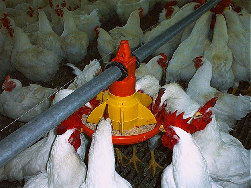 Système d'Alimentation de poulet de chair/dinde/ repro.