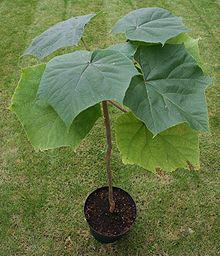 بذور شجرة الباولونيا  ومورينغا