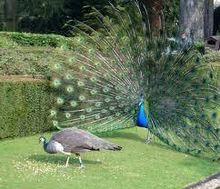 طائر الطاوس