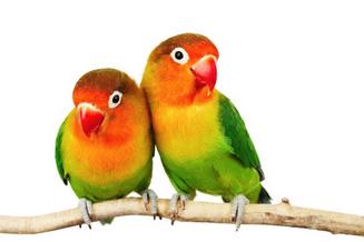 Oiseaux inséparables et calypsosf