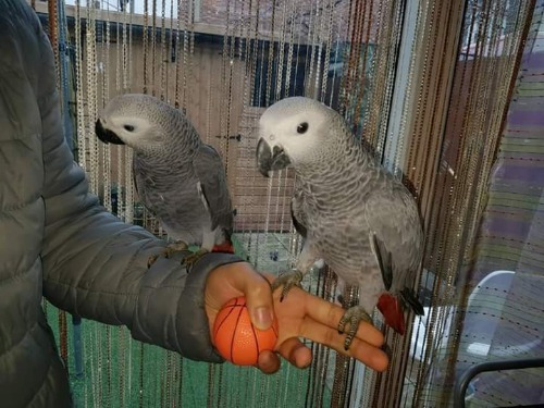 perroquets gris à vendre