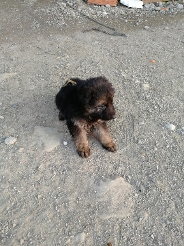 Chiot berger allemand poil long lof