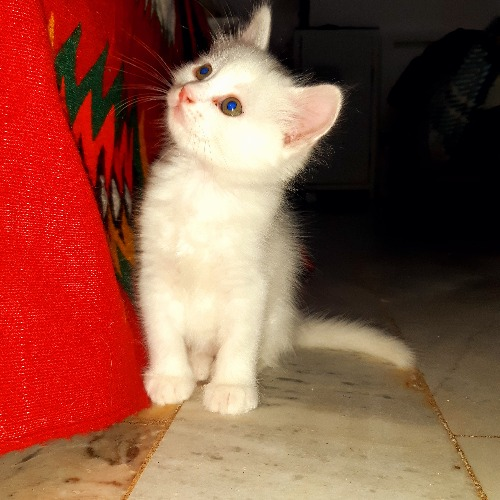 Chaton angora turc blanc
