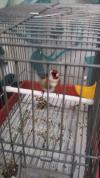 Maknine khalwi 1mois et demi en cage
