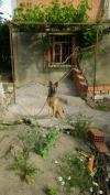 chien malinoins